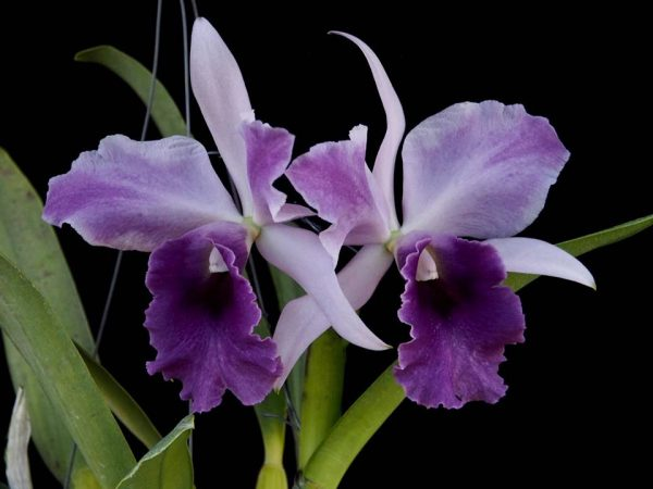 Cattleya alliance