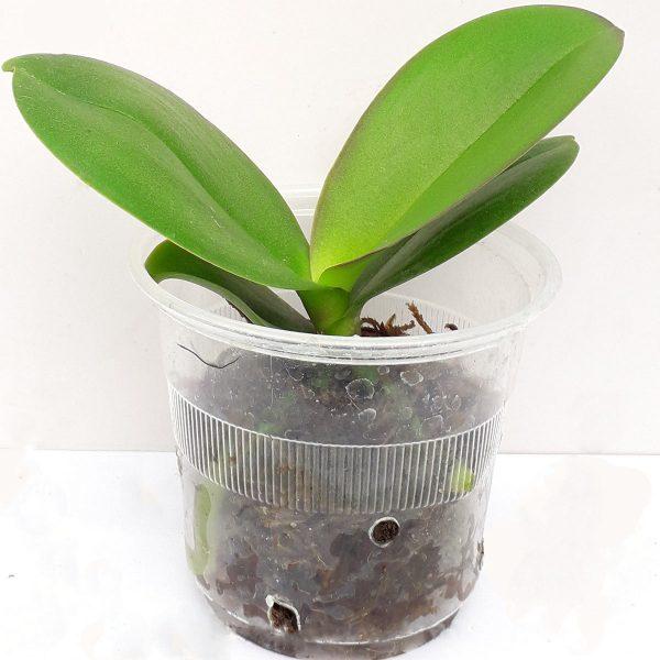 Phalaenopsis small plants