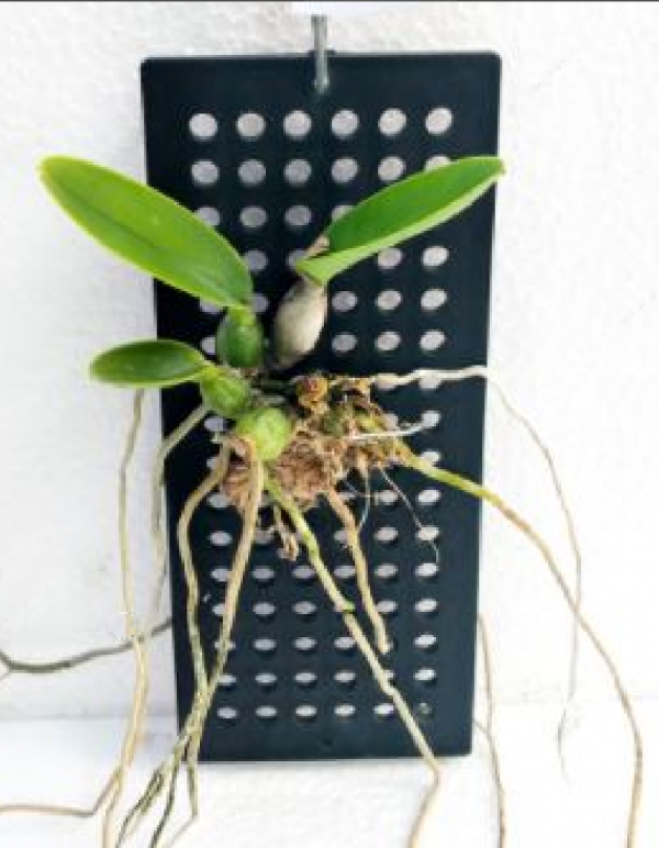 cattleya walkeriana blue plant