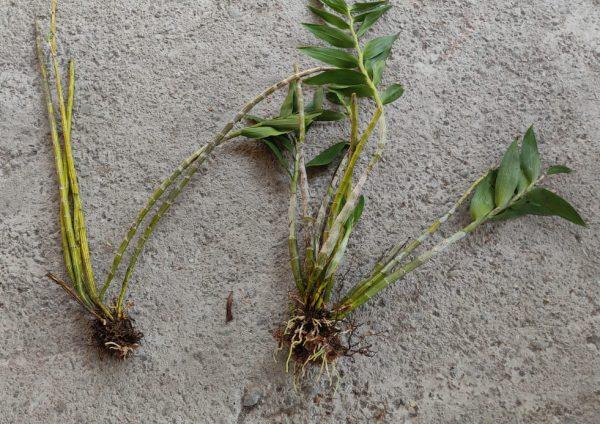 fimbriatum plant