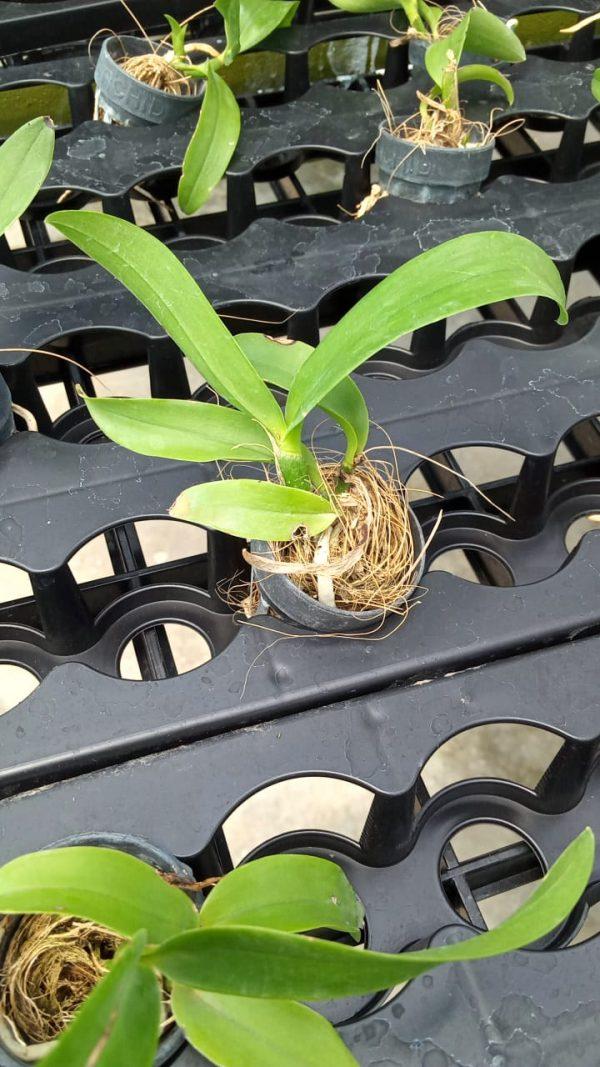 Cattleya seelings plant