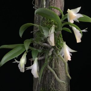 Dendrobium species orchids online sale