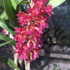 Dendrobium species orchids online sale