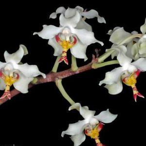 paraphalaenopsis orchids, online sale