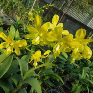 Dendrobium Orchid Online sale