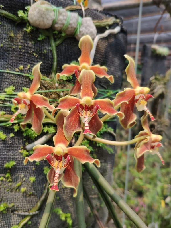 paraphalaenopsis orchids online sale