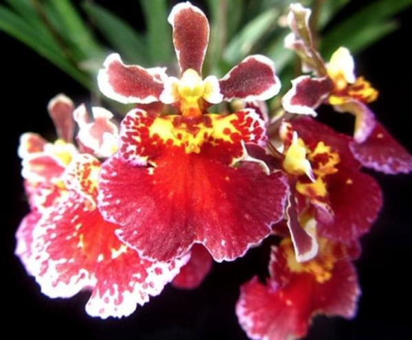 Tolumnia orchids, online sale