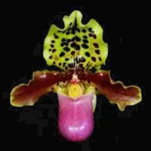 Paph.Henryanum Species
