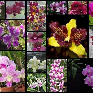 Dendrobium keikis online sale