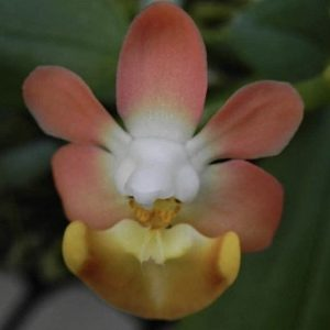 phalaenopsis orchids, online sale