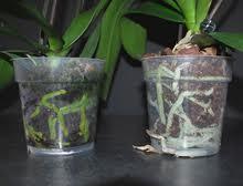 orchid clear pot