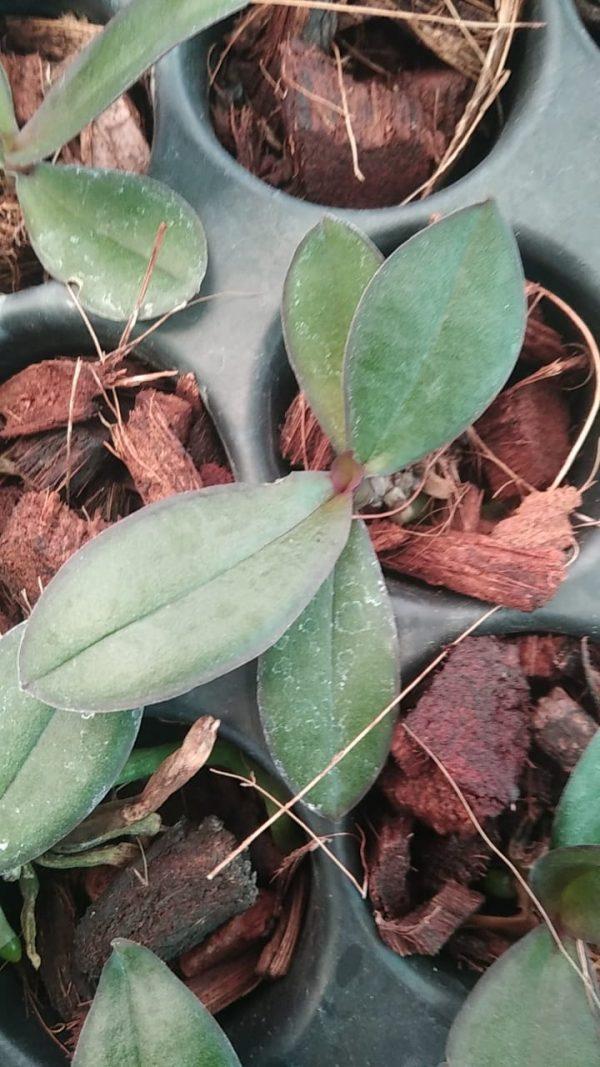 Phalaenopsis seedlings online sale