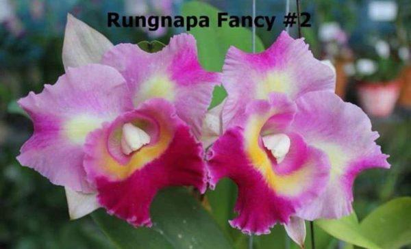 cattleya orchids, online sale