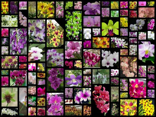 Dendrobium Kekies