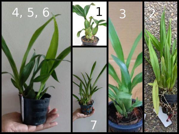 Oncidium Orchids, online sales