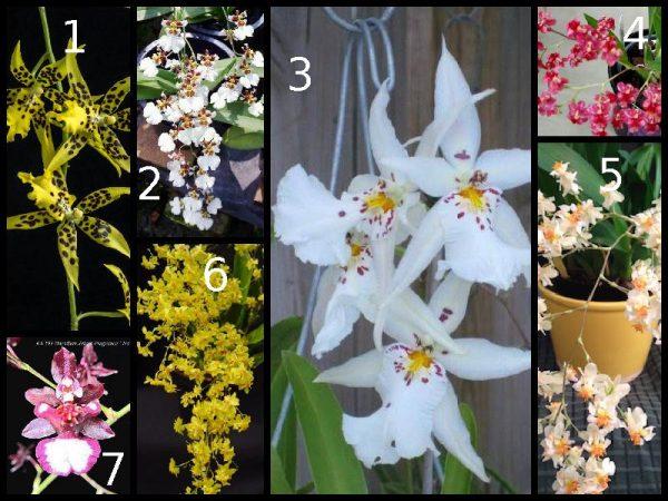 oncidium orchids online sale