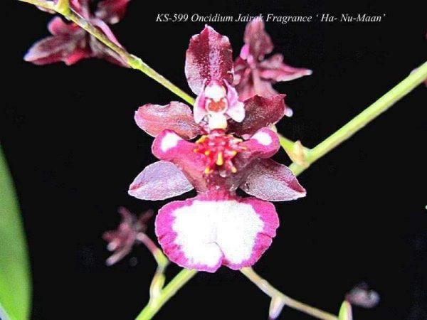 oncidium orchids, online sale