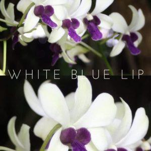 Dendrobium Orchids, Orchids online sale