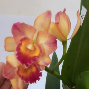 C.Chief Sweet Orange orchids