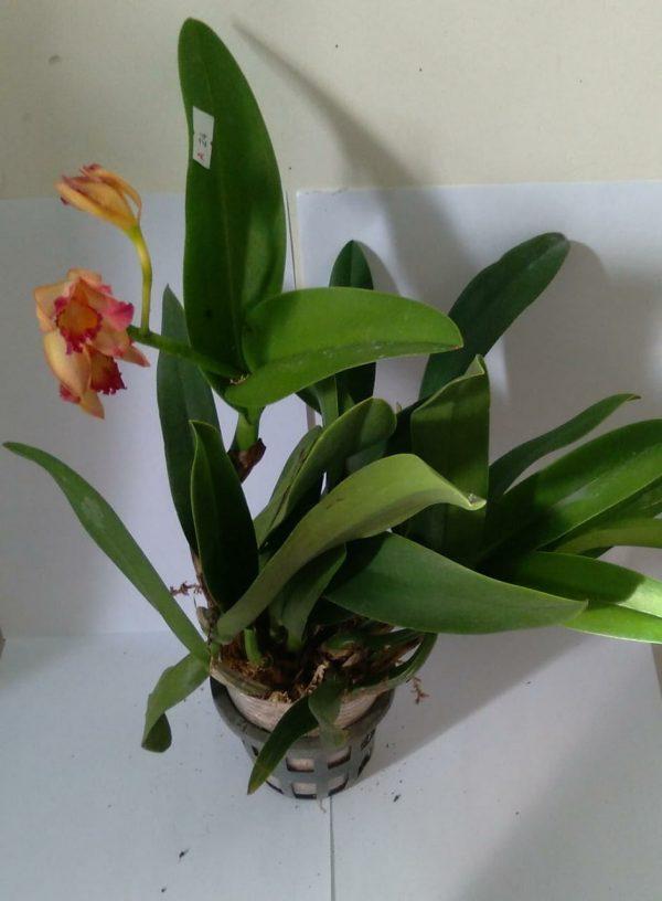 cattleya orchids , Cattleya.Chief Sweet Orange