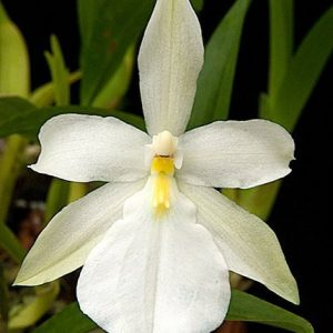 Miltonia Spectabilis Var alba
