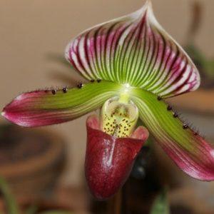 paphiopedilum orchids
