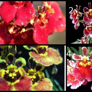 Tolumina orchids