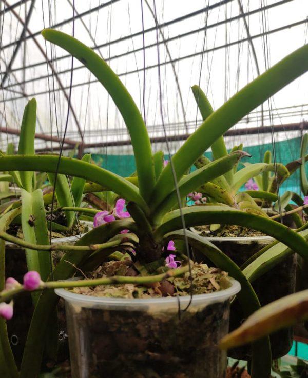 Aerides multiflora