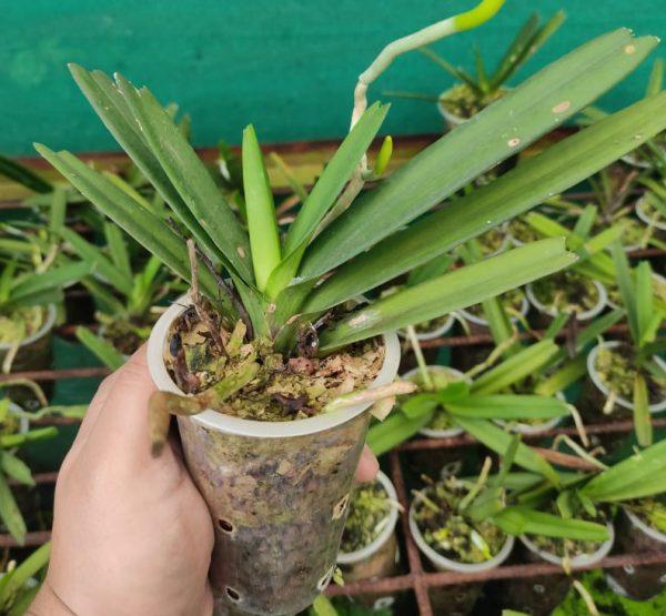 Ascocentrum ampullaceum orchids