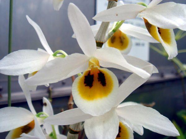 Dendrobium bensonii