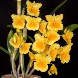 Dendrobium cappilippes