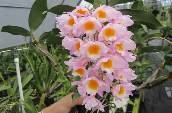 Dendrobium farmerii