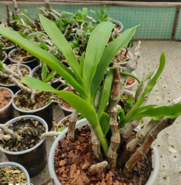 Dendrobium parishii, dendrobium species orchids