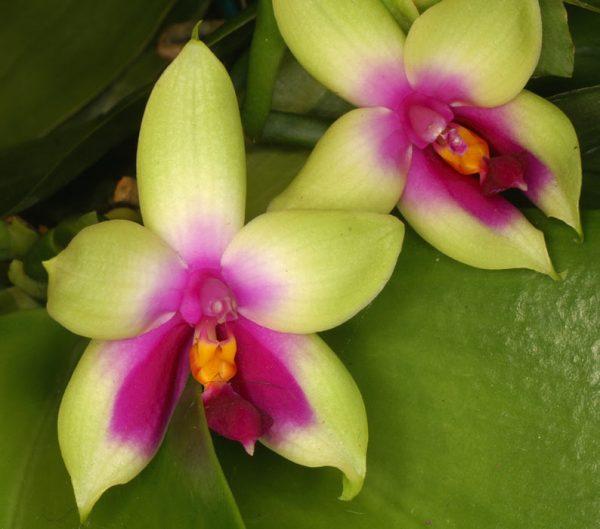 phalaenopsis orchids, online sale