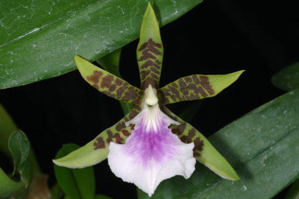 oncidium Aspasia Lunata