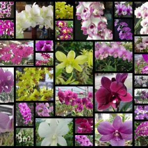 Dendrobium seedlings